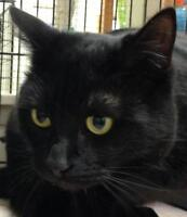 "Young Male Cat - Domestic Short Hair-black: ""Socrates"""