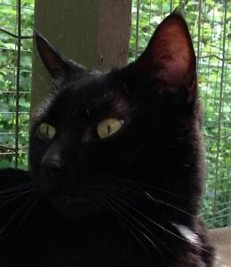 """Adult Male Cat - Domestic Short Hair-black: """"Diego"""""""