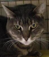 """Young Female Cat - Domestic Short Hair-gray: """"Gabrielle"""""""