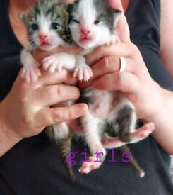 1 female kitten left, available 14th august
