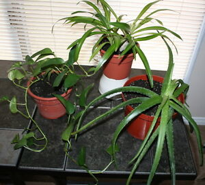 Beautiful House Plants $10.00 each 3 for $27.00