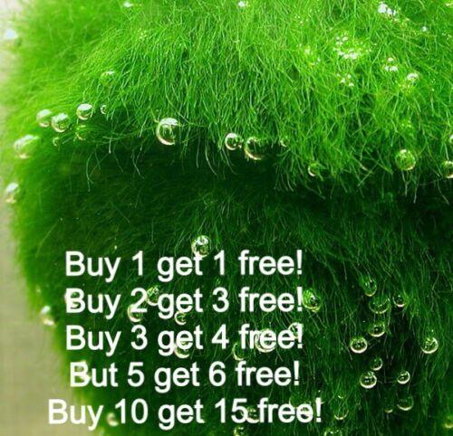 """Moss Ball Marimo 1/"""" 1.5/"""" Size APF® Live Aquarium Plants Shrimp BUY2GET1FREE*"""
