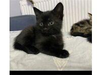 Kitten girl black for sale needs loving home for forever ❤️