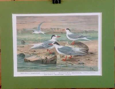 FINE ART LITHOGRAPH: Antique German Book Plate 12 Shorebirds 14 X 18 Matted (12 X 14 Fine Art)