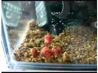 Rams horn aquatic snails