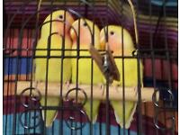Baby Peach Faced Lovebirds for sale
