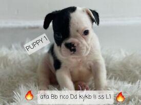 French Bulldog - FLUFFY ISABELLA NEW SHADE PRODUCERS