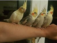 HIGH & STRONG QUALITY Tame Baby Cockatiels [£75/£80 EACH] For Sale + Cages From £20