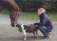 Dutch Warmblood Stallion at stud