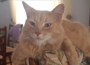 LOST - CAT - 7 year old male - Kenilworth (South Windsor)