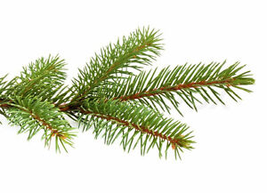Are you cutting/pruning trees?  Looking for pine/cedar branches