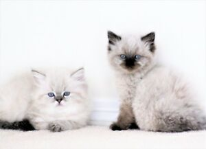 Colorpoint Persian kittens are ready for adoption.