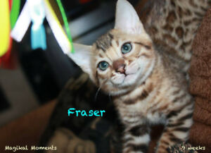 Sweet Bengal kittens - male, purebred