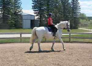 Grey Percheron tb x gelding  Kawartha Lakes Peterborough Area image 5
