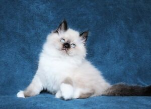 Fluffty Ragdoll kittens are available for adoption