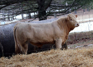 LOTS OF MUSCLE, LENGTH & HIP - BULL FOR SALE