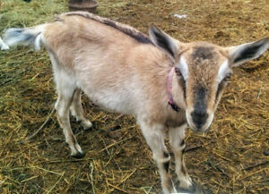 Alpine/Togg cross Doe and 3/4 Alpine doeling available