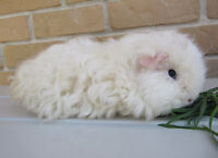 Looking to buy a Merino, Lunkarya, or Texel Guinea Pig!