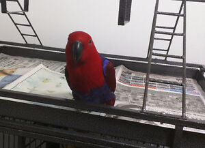 Female Eclectus Parrot for Sale