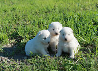 Very cute pure breed Samoyed Puppies