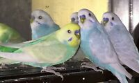 Lovely Sky Blue Budgies + Friendly Lovebird TO A GOOD HOME