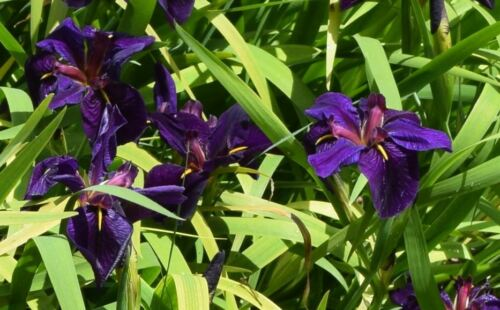 Louisiana Black Gamecock Iris Live Pond Grown Plants - Get 5 for one Price