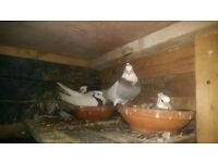irenian and kurdish pigeons