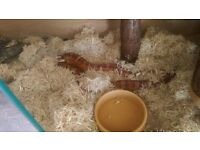 corn snake with viv and mats for sale