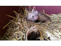 Pair ferrets for sale