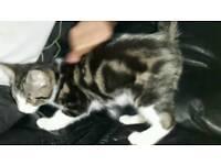 Tabby kitten in dudley