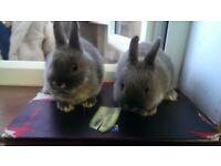 8 week old, netherland dwarf rabbits