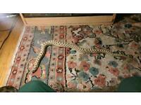 Large male western hognose snake & viv