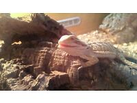 VERY FRIENDLY 6 MONTHS OLD MALE BEARDED DRAGON & FULL SET UP