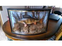 Taxidermy Perch fish.