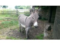 Year Old Male Donkey for Sale