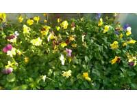 Bedding Plants Winter / Spring