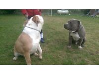 Extreme American bully