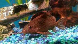 ££Offers. Featherfin Synodontis