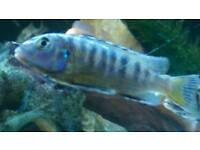 Malawi for sale tropical fish