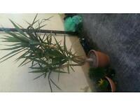 6foot yucca plant