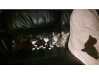 7 Gorgeous kittens for sale