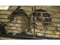 2 Degus and Cage