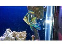 MARINE FISH KORAN ANGELFISH
