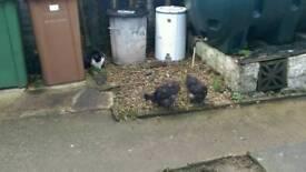 2 black silkie roosters