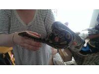 Male Royal /Ball python...
