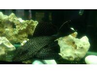 Big Pleco Malawi Tropical Fish