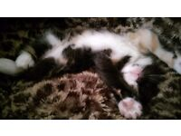Beautiful fluffy female kitten