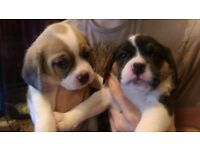 Beautiful F1B Puggle (Pug/Beagle) Puppies (puppy) 1 boy left