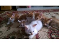 Ginger Kittens for sale