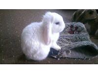 1 White Baby lop Eared Rabbit boy